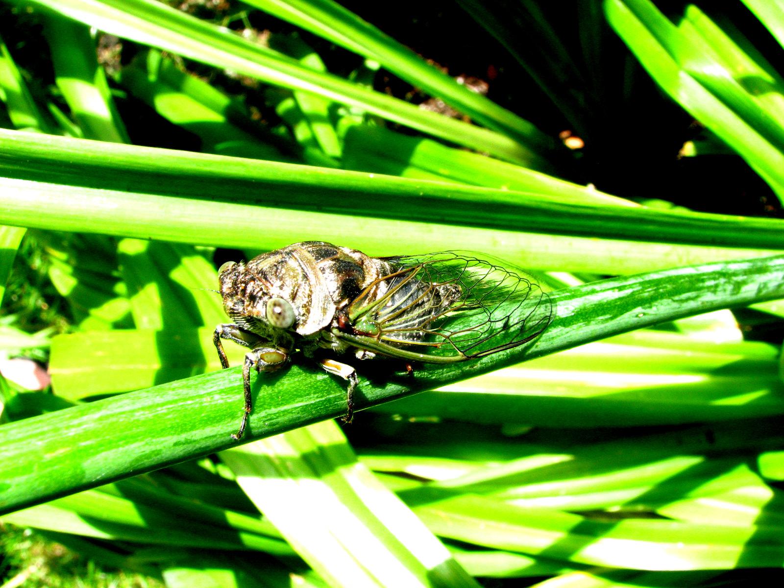 Cicadas II