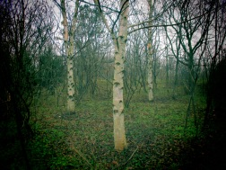 A Trio Of Birch